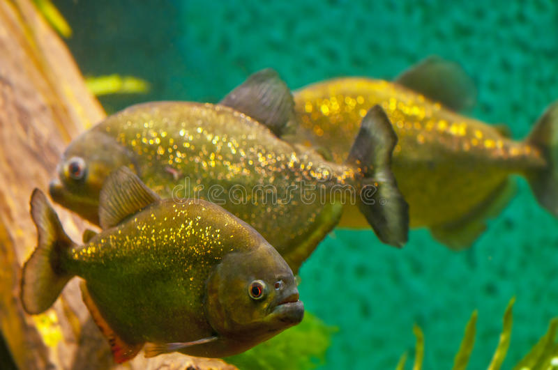 Download Piranha stock image. Image of mean, animal, hungry, aggressive - 27678441