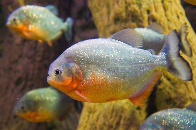 Piranha. Side view of a Red Bellied Piranha (Pygocentrus Nattereri stock image