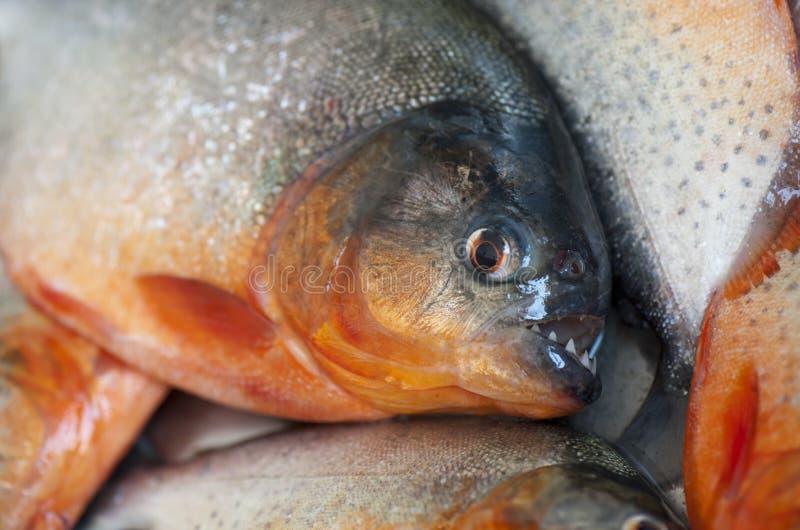 piranha photo libre de droits