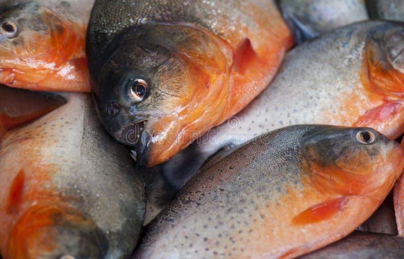 piranha photo stock