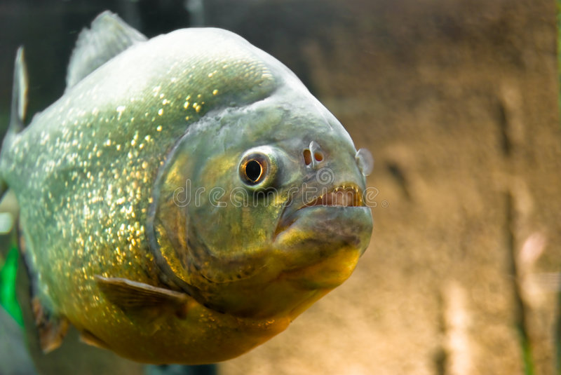 Piranha. In the aquarium looking at you with her mouth open showing tiny teeth.Selective focus on the fish's face royalty free stock image