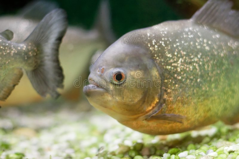 Piranha. In a tank stock images