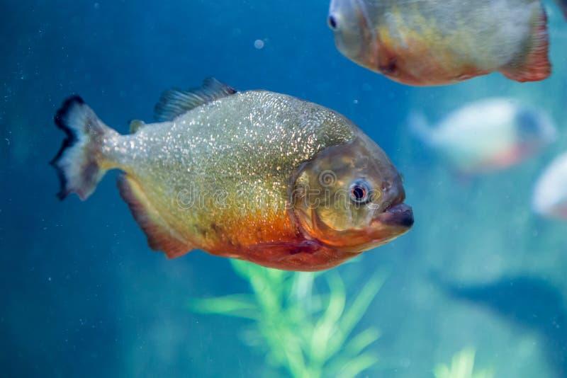 Piranha in the aquarium. Pygocentrus nattereri. Serrasalminae. Characidae. Serrasalmidae. Serrasalmus nattereri royalty free stock images