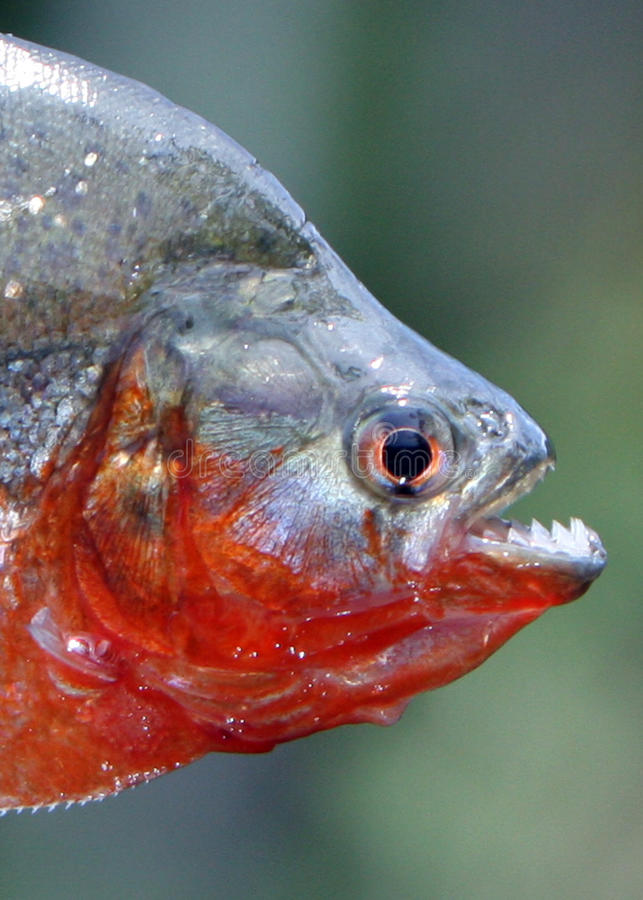 Piranha close up with teeth exposed in the Amazon. Amazon river piranha close up with teeth exposed and bloody stock images