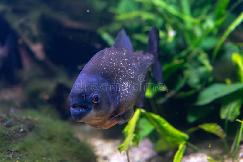 Piranha closeup in the aquarium, Pygocentrus nattereri. Pygocentrus nattereri also know as red bellied Piranham, amazonian fish royalty free stock image