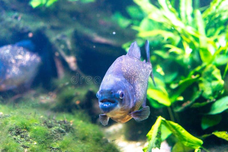 Piranha closeup in the aquarium, Pygocentrus nattereri. Pygocentrus nattereri also know as red bellied Piranham, amazonian fish stock image