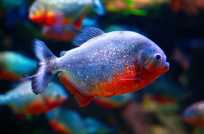 Piranha closeup aquarium. Closeup underwater image of a Red piranha stock photo