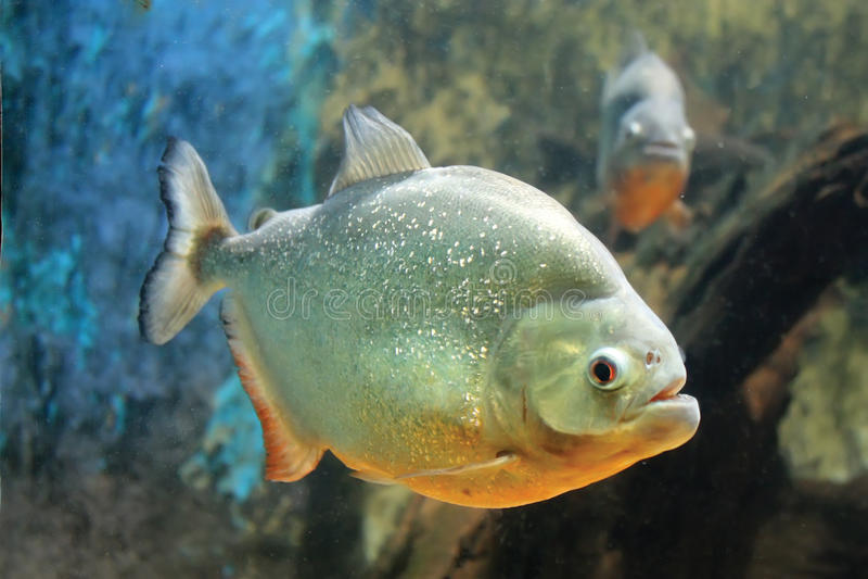 Piranha Fish. A Brazilian Piranha fish in a tank royalty free stock photo