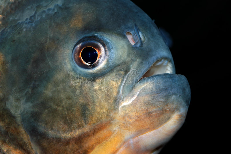 Download Piranha fish stock image. Image of teeth, swim, view, vicious - 3540349