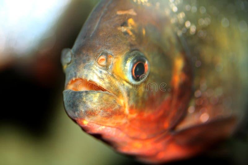Download Piranha Fish stock image. Image of teeth, fish, close - 5919383