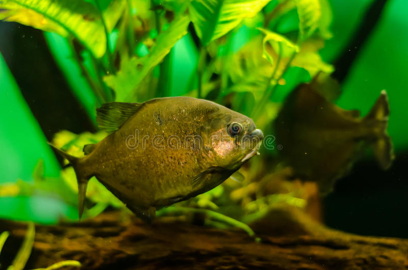 Piranha fish. A piranha fish in an aquarium royalty free stock photos