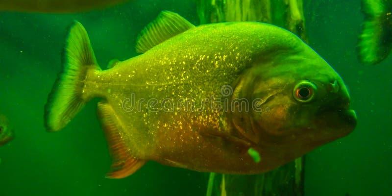 Piranha fish in aquarium. Picture with horror fish piranha in aquarium stock photography