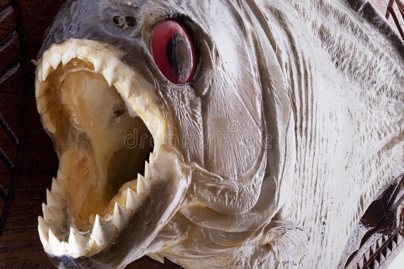 Download Piranha fish close up stock image. Image of mouth, open - 24062601