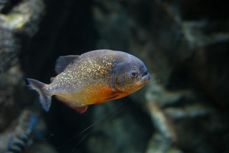 Piranha fish in image. A piranha fish in a close up shot with a dark background royalty free stock photo