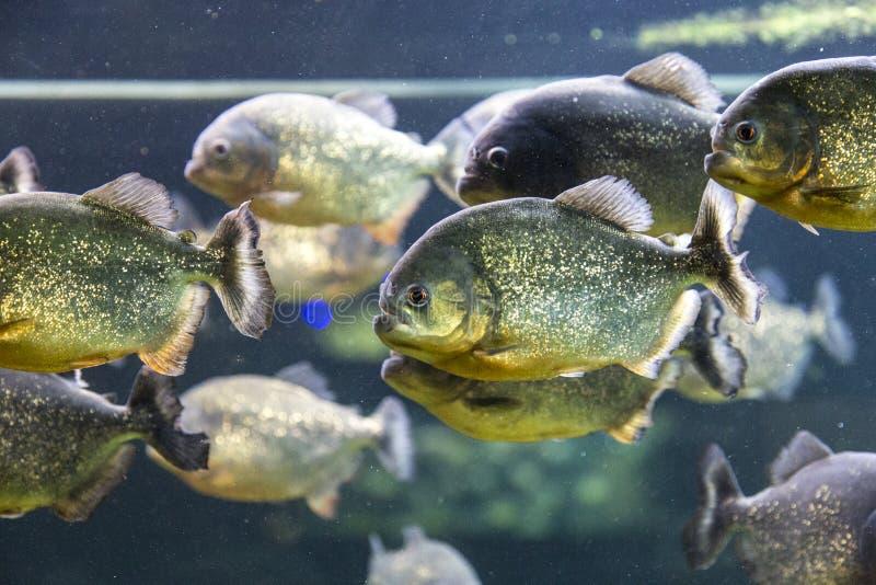 Piranha fishs. View of a piranha fishs aquarium stock images