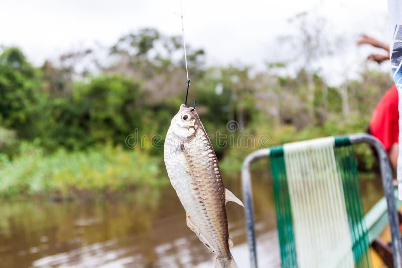 Piranha. Fished from Yacumo river, Bolivia stock photos
