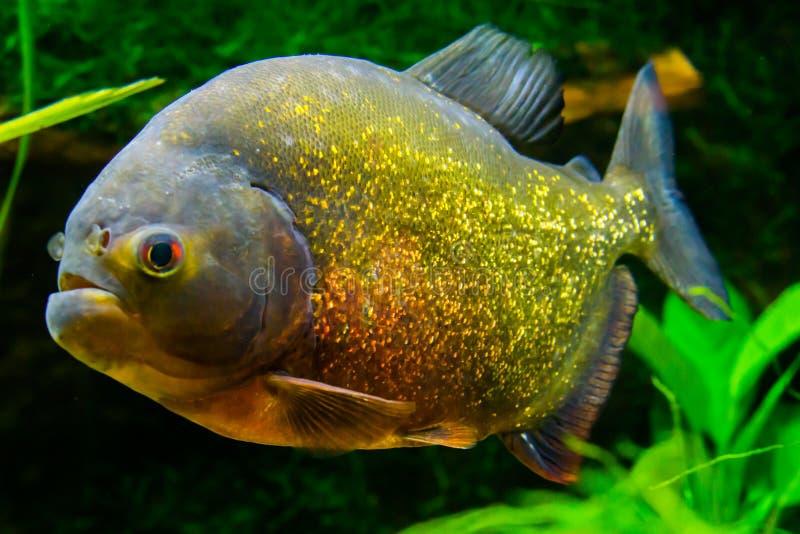 Piranha gonflé rouge dans la fin, un poisson tropical éclatant coloré dans l'or de couleurs, orange et rouge photo libre de droits