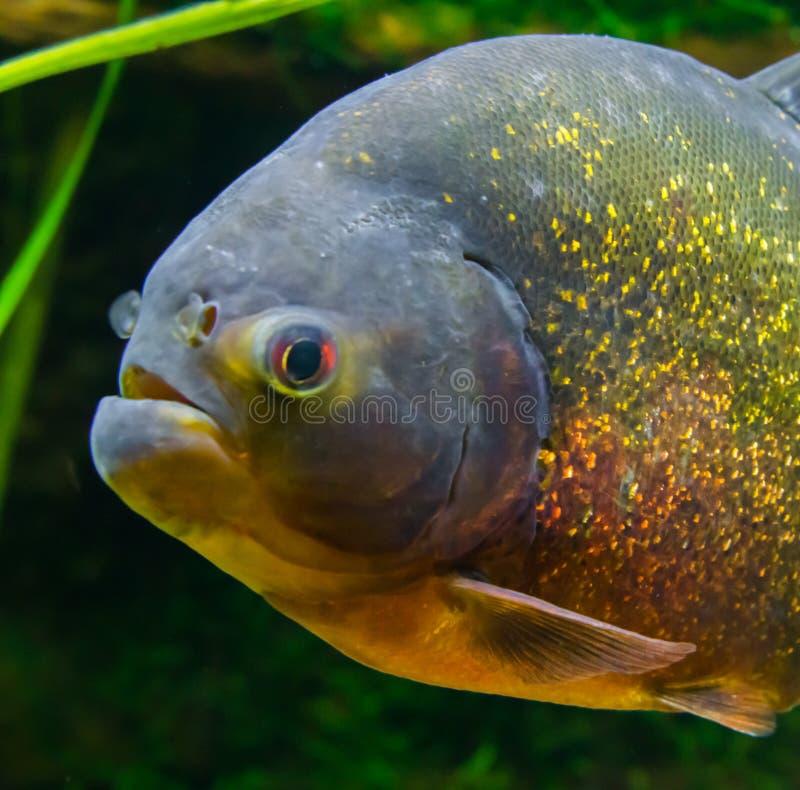 Piranha gonflé rouge dans le plan rapproché, un beau et coloré poisson tropical avec les échelles scintillantes du bassin d'Amazo images stock