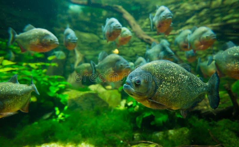 Piranha im Aquarium lizenzfreie stockbilder