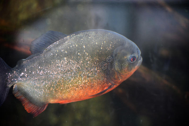 Piranha. A large piranha fish photographed through the glass at an aquarium royalty free stock image