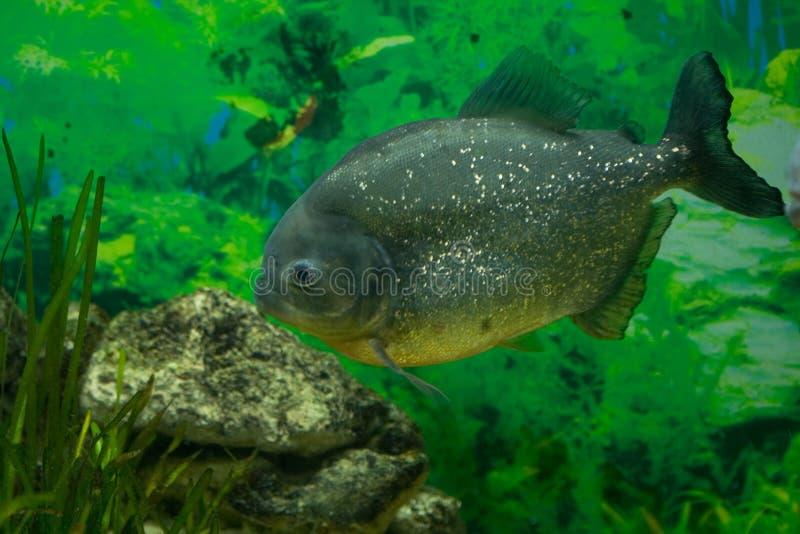 Piranha - Pesce Predatore Immagine Stock Libera da Diritti