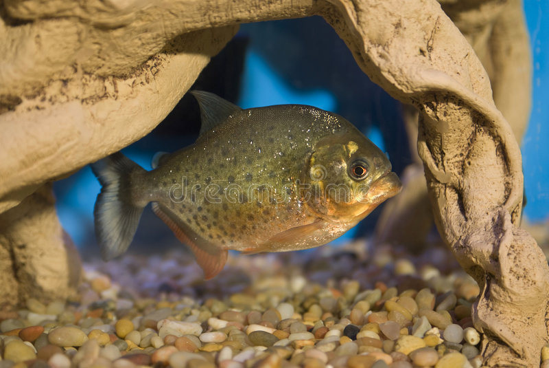 Piranha Pet. This a Red Belly Piranha in a home aquarium stock photos