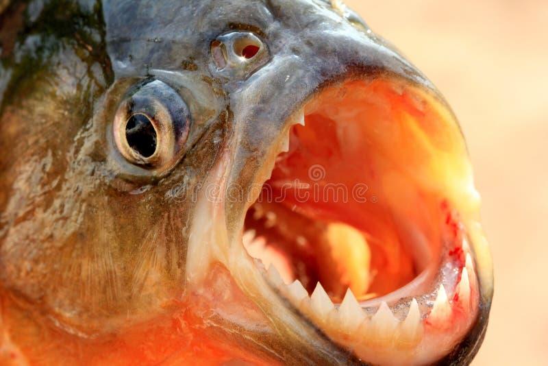 Piranha portrait. Mouth and teeth closeup of piranha in Los Llanos, Barinas region, Venezuela royalty free stock images
