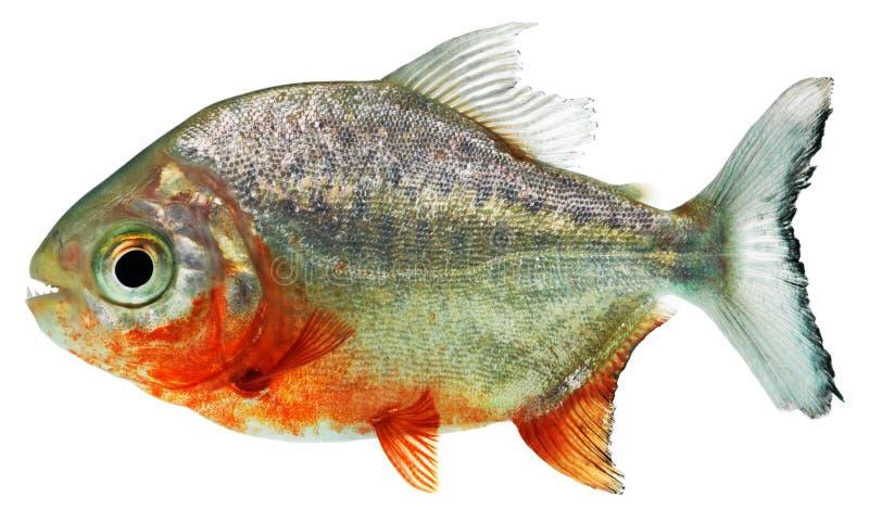 Piranha ryba fotografia stock