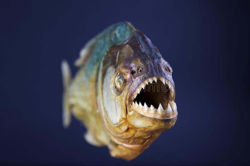 Download Piranha´s Jaws Royalty Free Stock Images - Image: 16372839