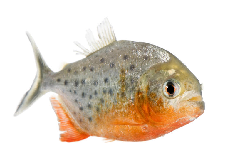 Piranha - Serrasalmus nattereri. In front of a white background royalty free stock photo