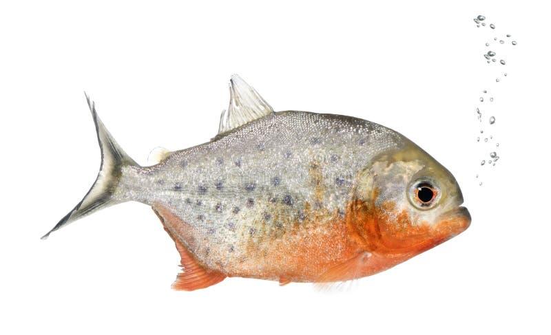 Download Piranha, Serrasalmus Nattereri, Studioschot Stock Foto - Afbeelding bestaande uit niemand, exemplaar: 10780908