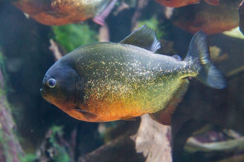 Piranha. Side view of one piranha stock photo