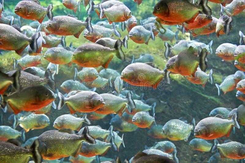 Piranha vermelha (nattereri de Pygocentrus) imagens de stock royalty free