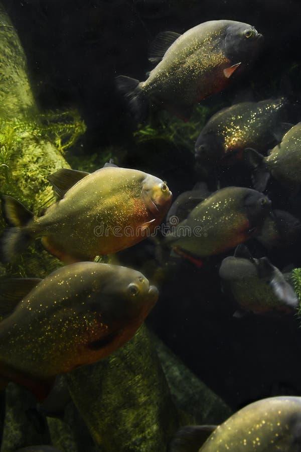 Free Piranhas Stock Photo - 15796310