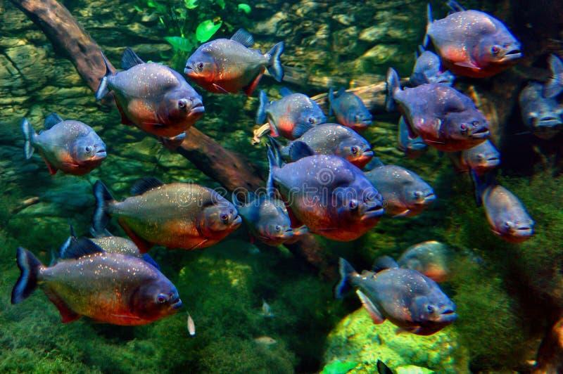 piranhas arkivfoton