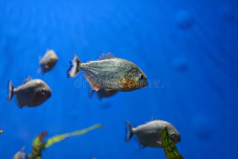 Piranhas stock photography