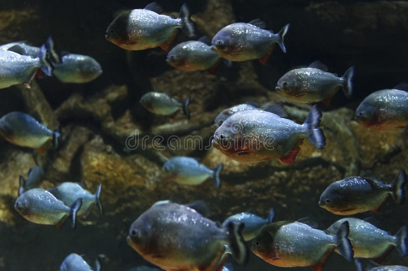 Piranhas fish flock royalty free stock images