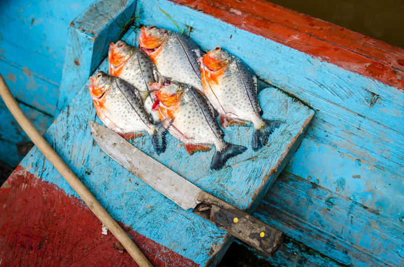 Piranhas gerade catched vom Fluss lizenzfreies stockbild