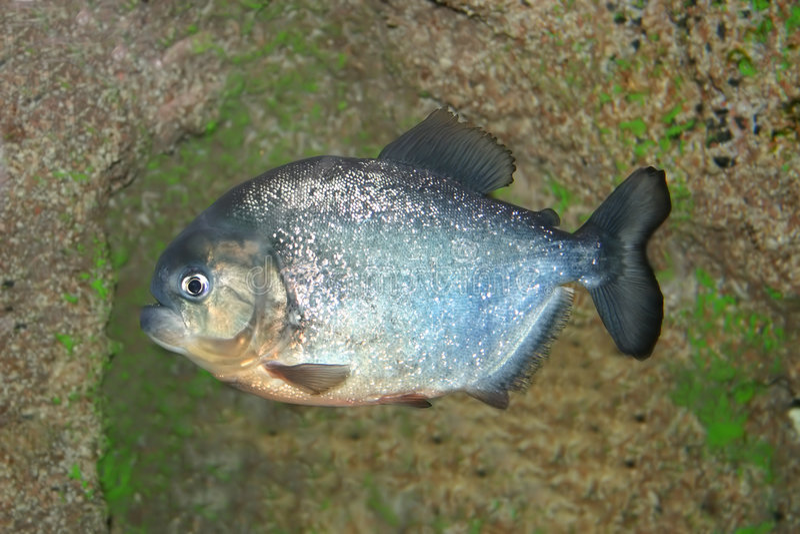 pirania ryb obrazy royalty free