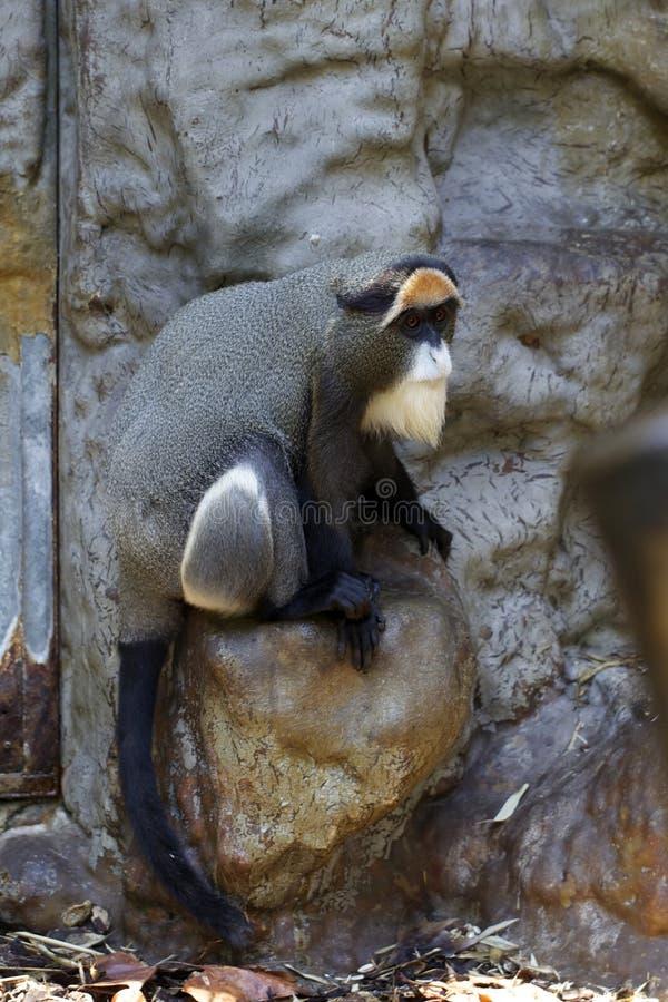 Pirate monkey. Photography of De Brazza's Monkey royalty free stock photography