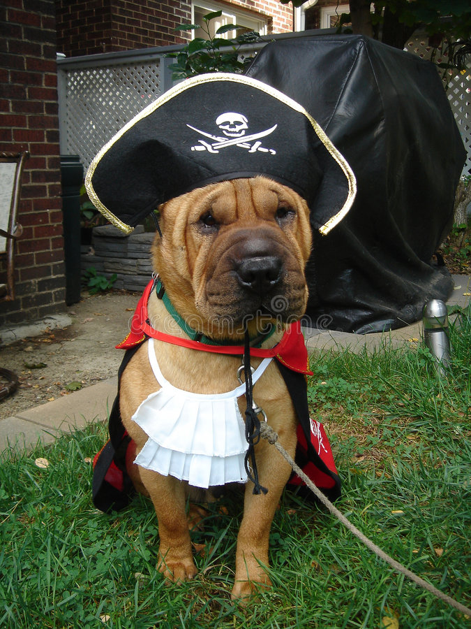 Pirate Shar Pei. Shar Pei Dressed Up as a Pirate royalty free stock photos
