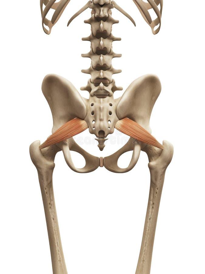 The piriformis. Human muscle anatomy - the piriformis
