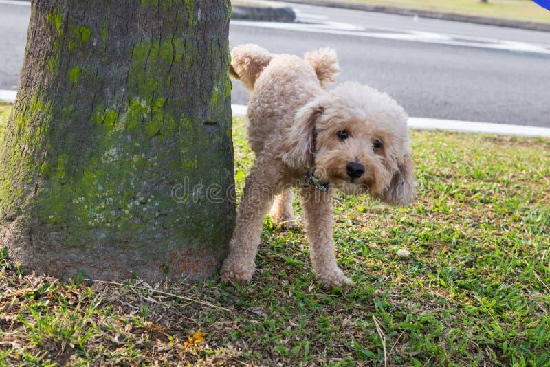 Pis que orina del caniche masculino en el tronco de árbol para marcar el territorio fotografía de archivo libre de regalías