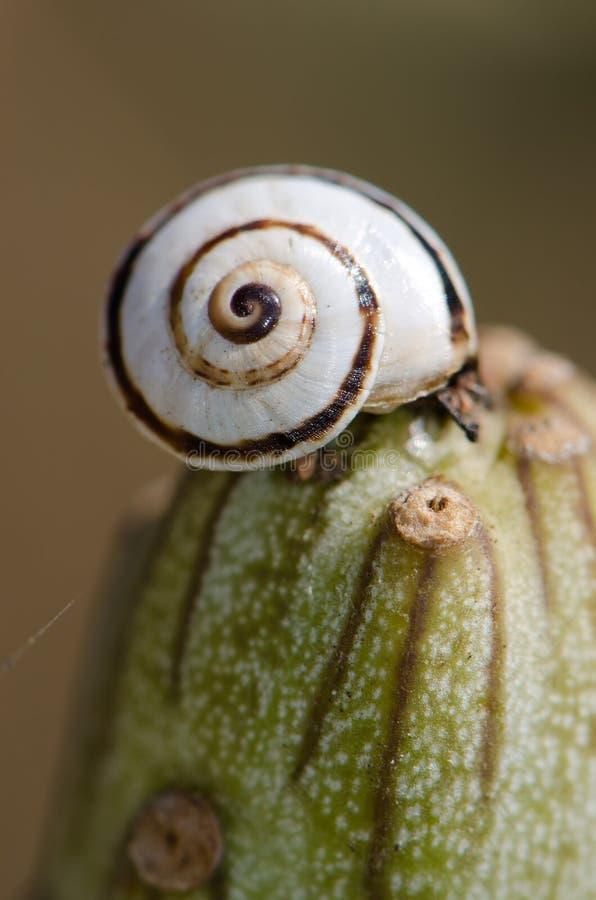 Pisana blanc de Theba d'escargot de jardin sur un kleinia de Senecio de verode images libres de droits