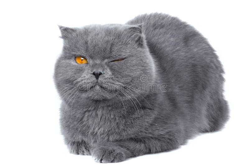 Piscadela do gato da dobra do Scottish fotografia de stock royalty free
