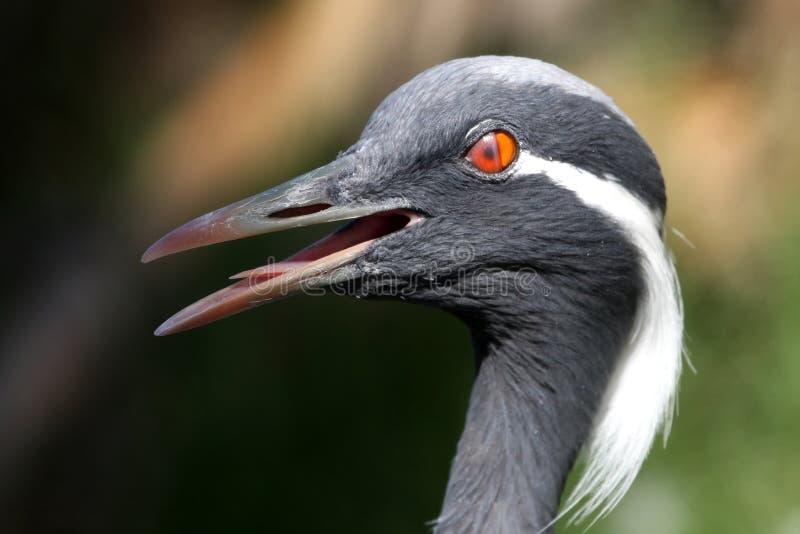 Piscar do pássaro do guindaste do Demoiselle fotografia de stock