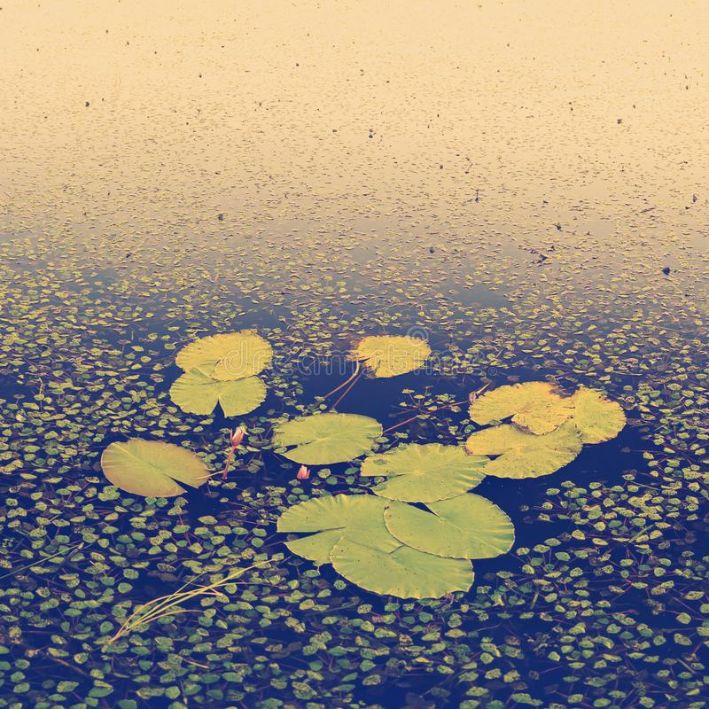 Piscinas de lirio de agua imagen de archivo libre de regalías
