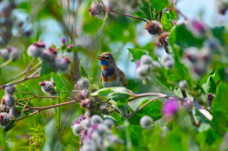 Pisco de peito azul do pássaro fotos de stock royalty free