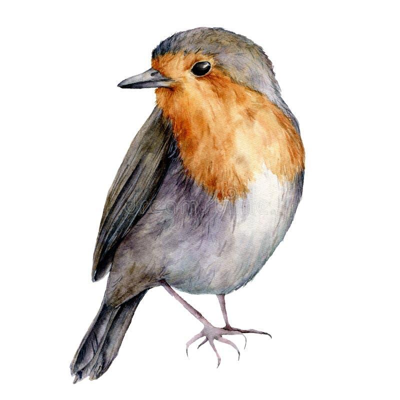Pisco de peito vermelho da aquarela Pássaro pintado à mão do Natal isolado no fundo branco Ilustração da natureza do feriado para ilustração royalty free