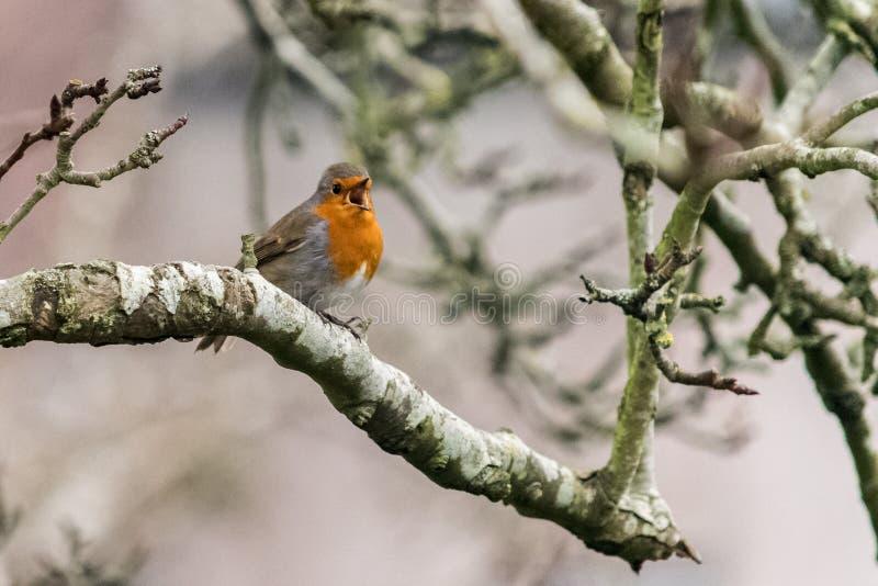 Pisco de peito vermelho do canto no ramo de árvore imagens de stock royalty free